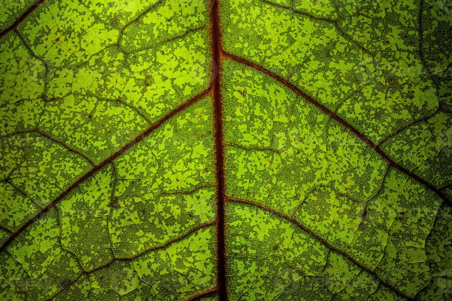 Nahaufnahme eines grünen Blattes mit roten Adern foto