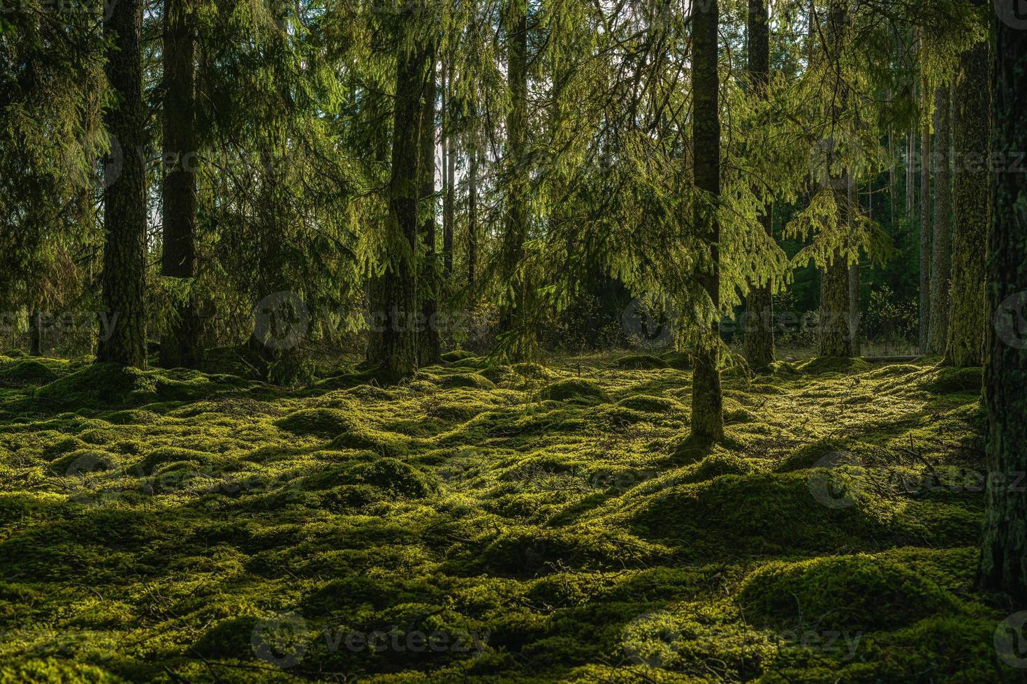 schöner grüner Tannenwald im Sonnenlicht foto