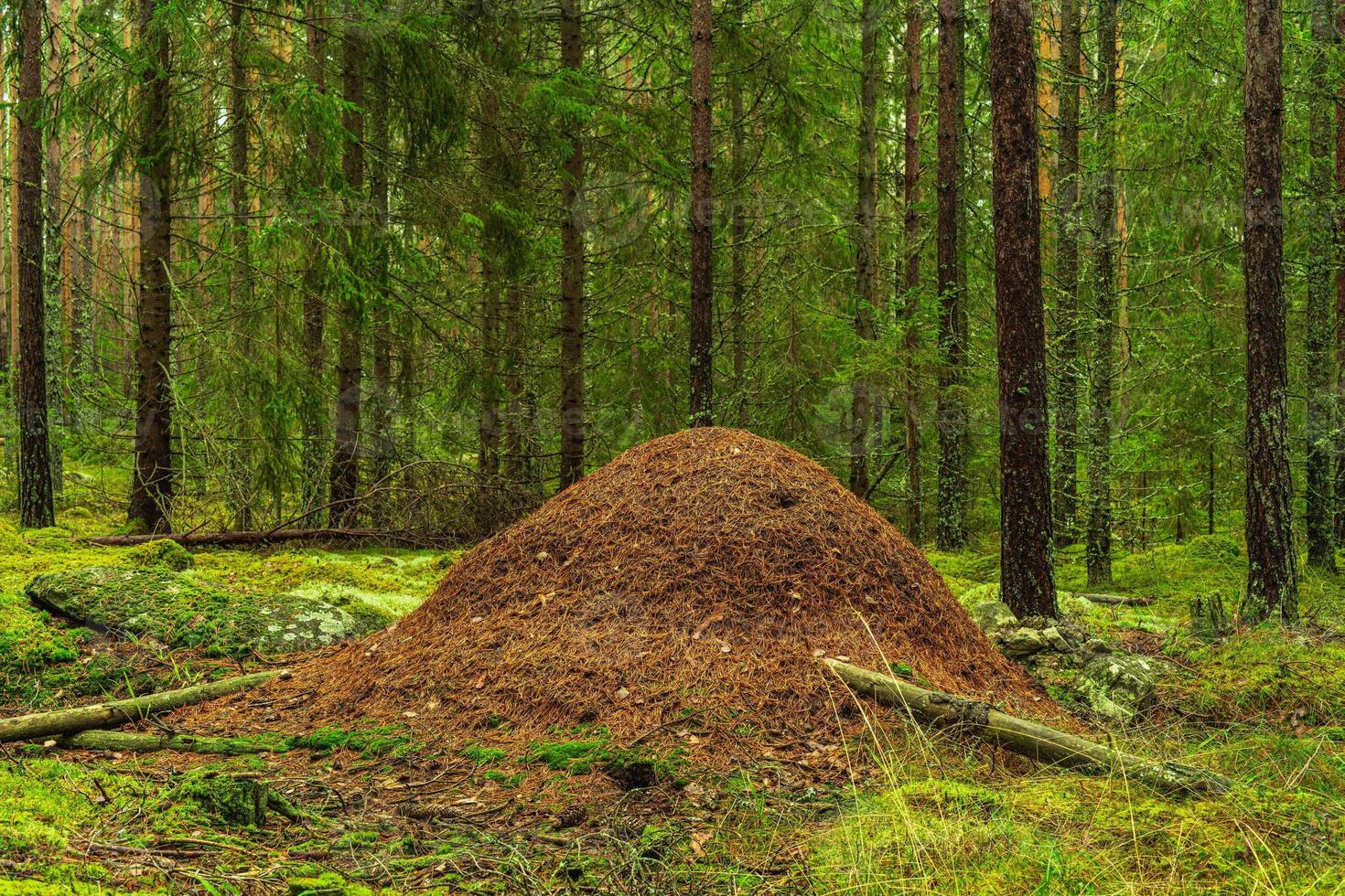 großer Ameisenhaufen in einem Tannen- und Kiefernwald foto