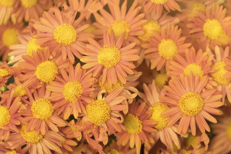 schöne Chrysanthemenblüten orange foto