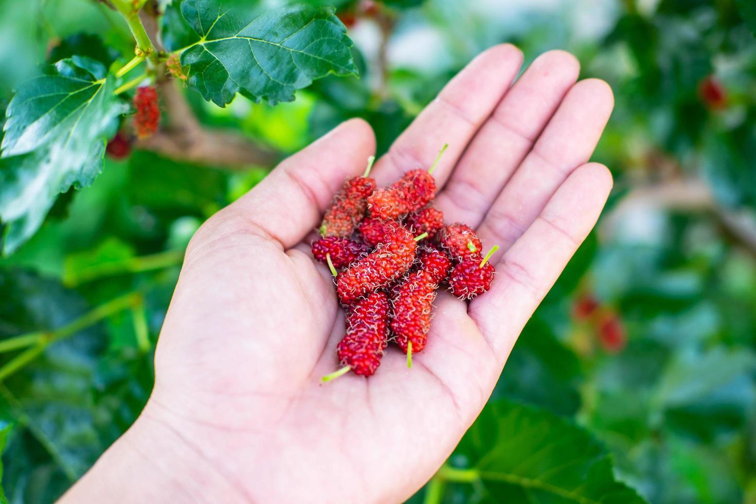 frische Maulbeerfrüchte in der Hand foto