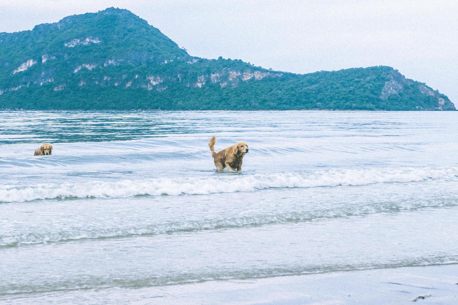 Golden Retriever Hund spielt im Meer für den Ruhestand oder im Ruhestand foto