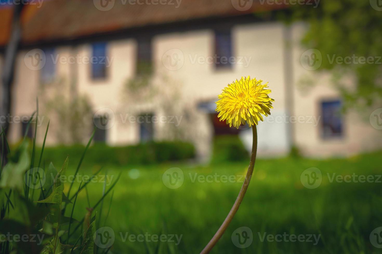 Gelber Löwenzahn auf langem Stiel, der im grünen Gras in der Nähe der Wiese vor dem alten Gebäude blüht foto