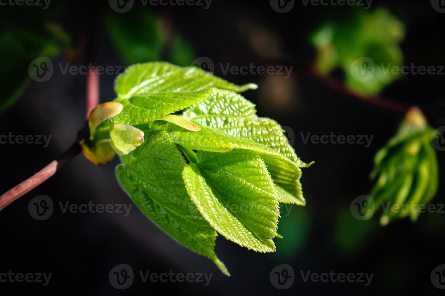 junge frische saftige Lindenblätter im Sonnenlicht isoliert auf schwarz foto