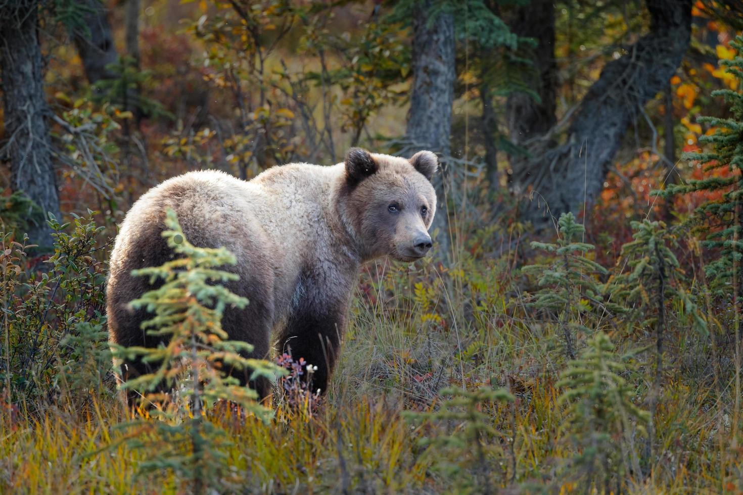 Grizzle Bär in der Natur von Alaska foto