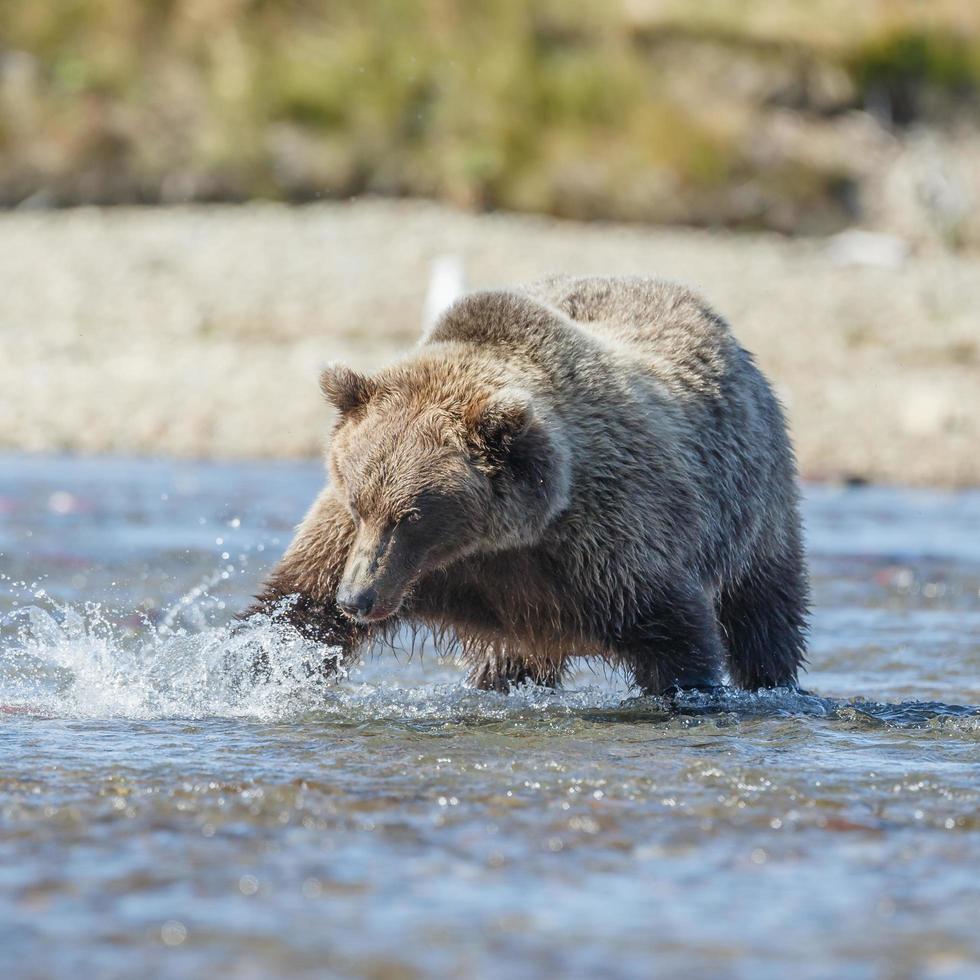 Grizzlybär in der Natur von Alaska foto