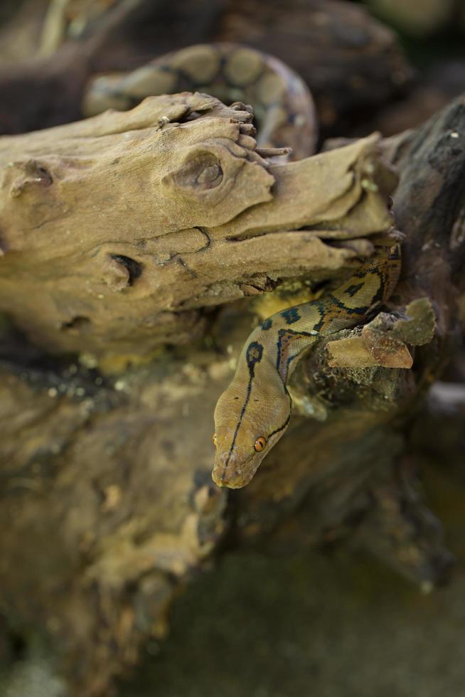 Boa-Porträt, Boa constrictor Schlange auf Ast foto