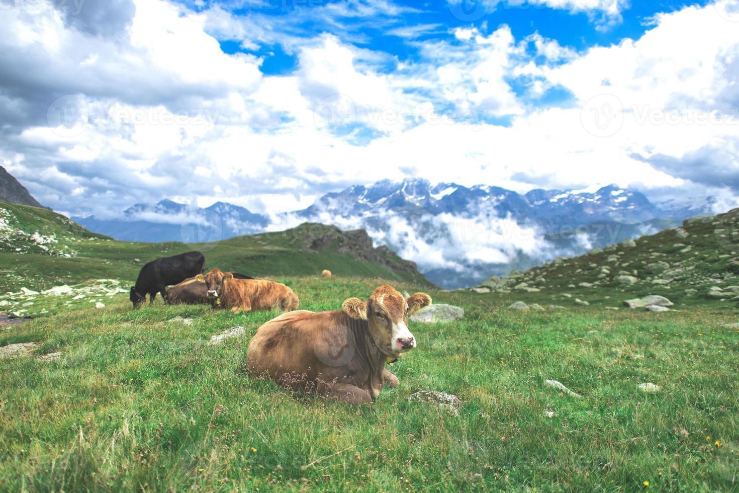 einige kühe grasen auf den wiesen der schweizer alpen foto