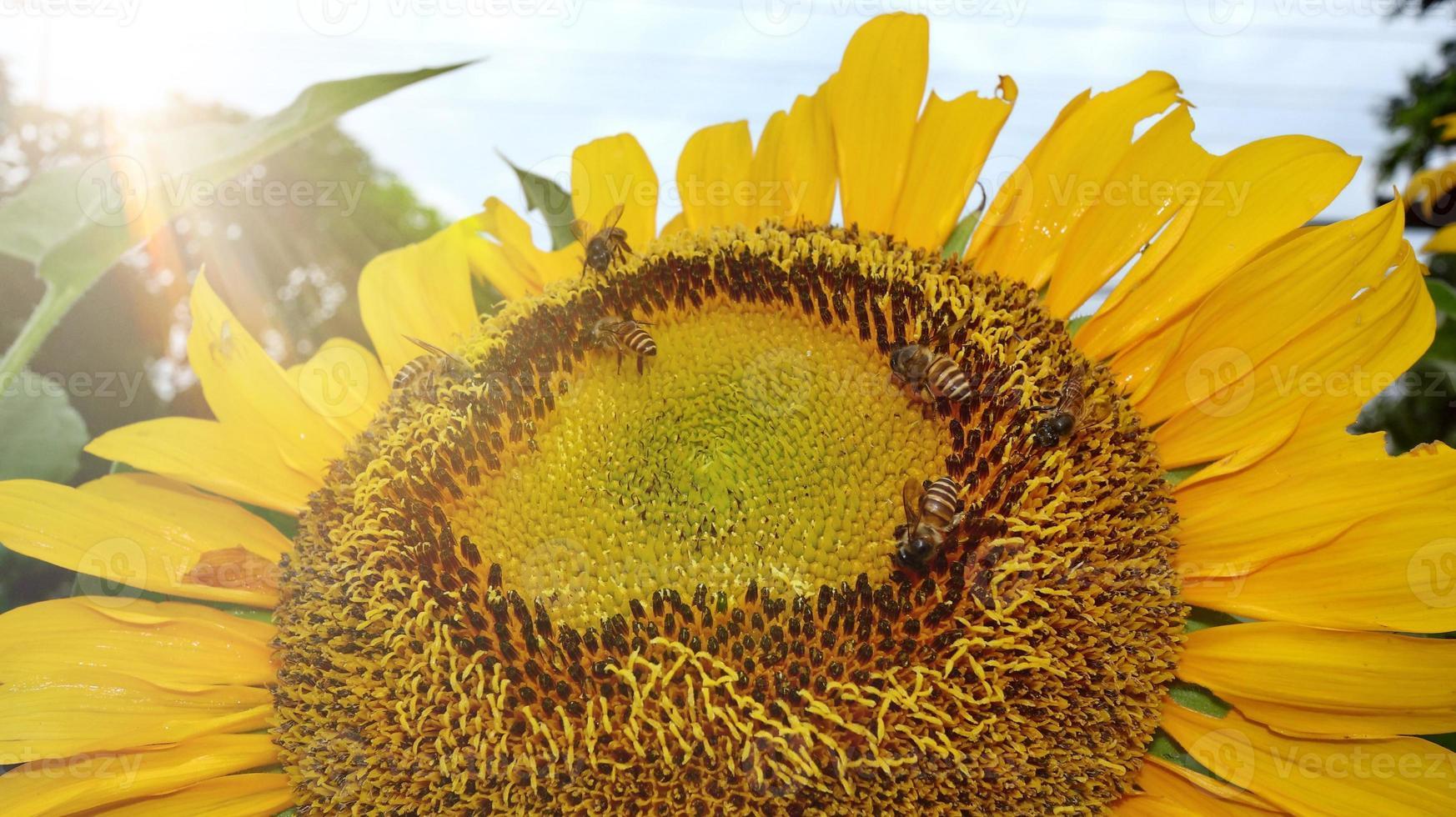Sonnenblume, dem blendenden Morgenlicht ausgesetzt foto