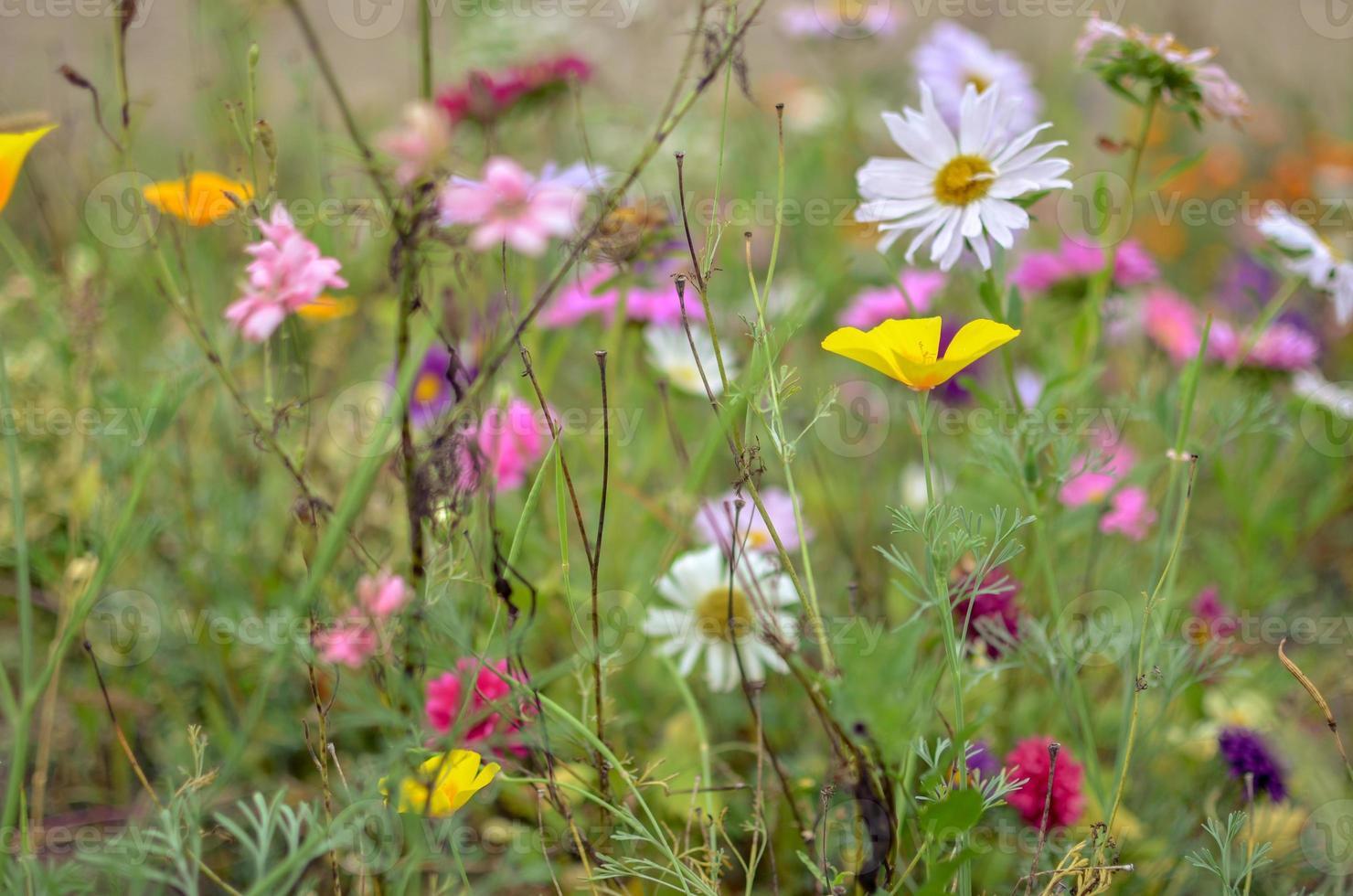 Feld der Kosmosblume, Wiese mit Aster, Kamille, Esholtzia foto