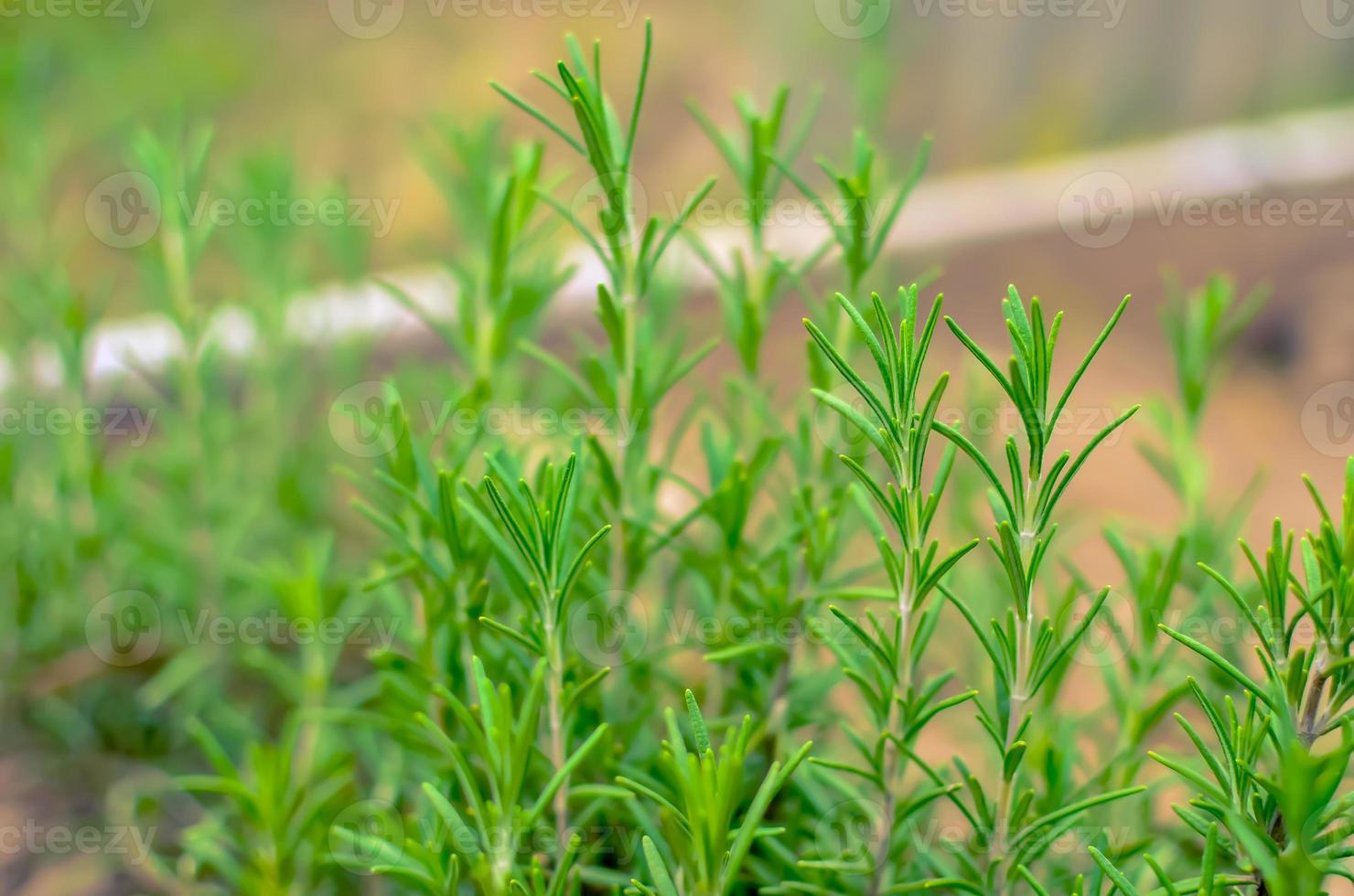 Grünes Rosmarinkraut im Sommergarten foto