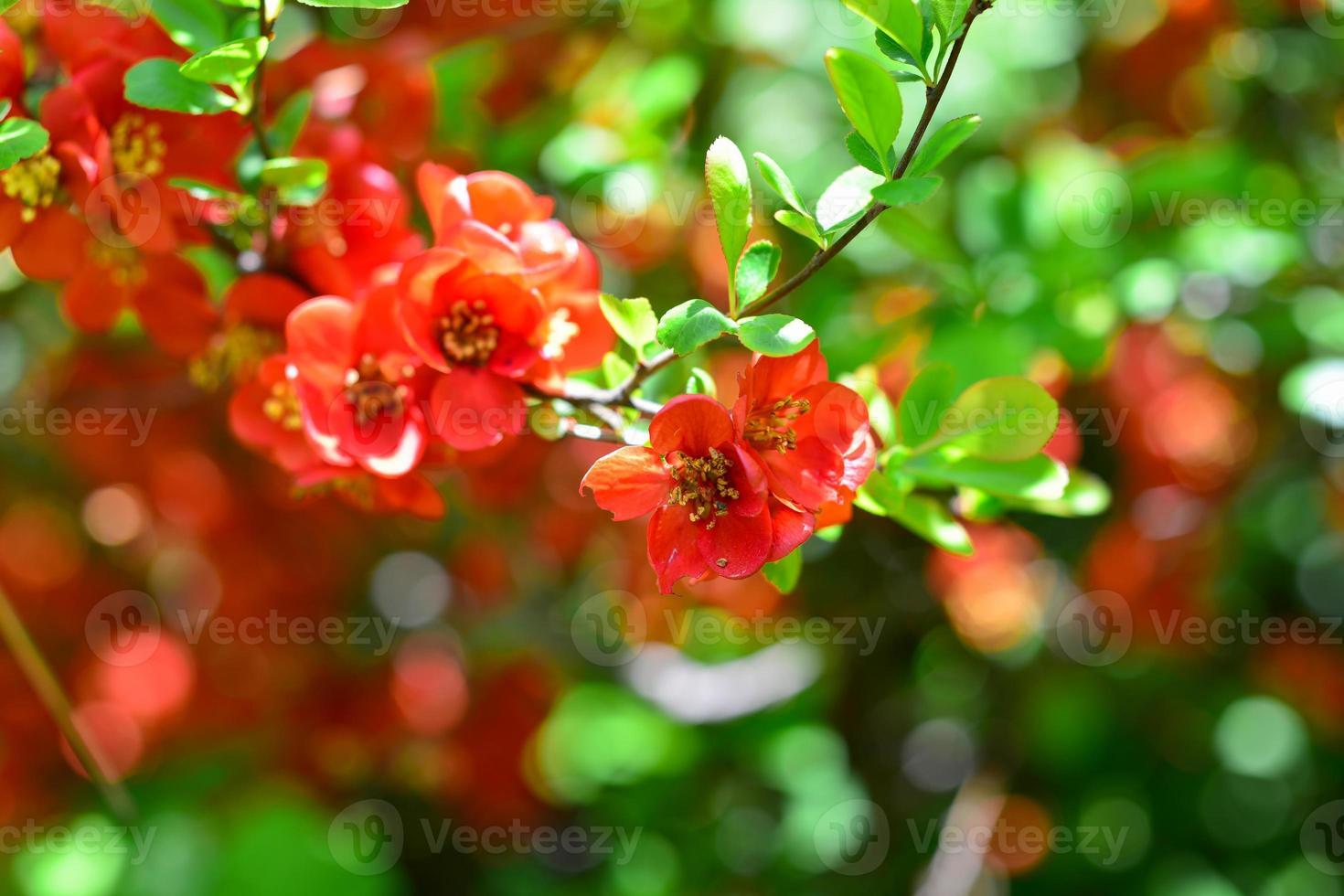 Blüten von Henomeles im Frühjahr im Garten. Nahaufnahme foto