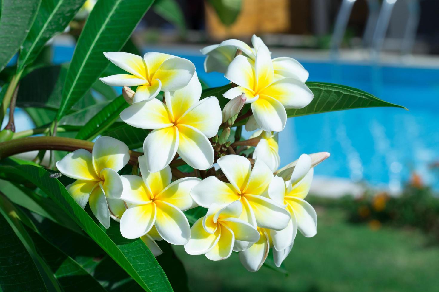 Frangipani-Blüten an einem Baum im Garten foto