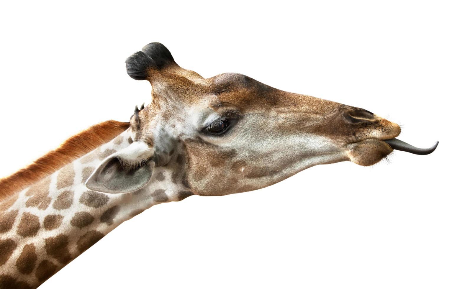 Giraffe auf weißem Hintergrund foto