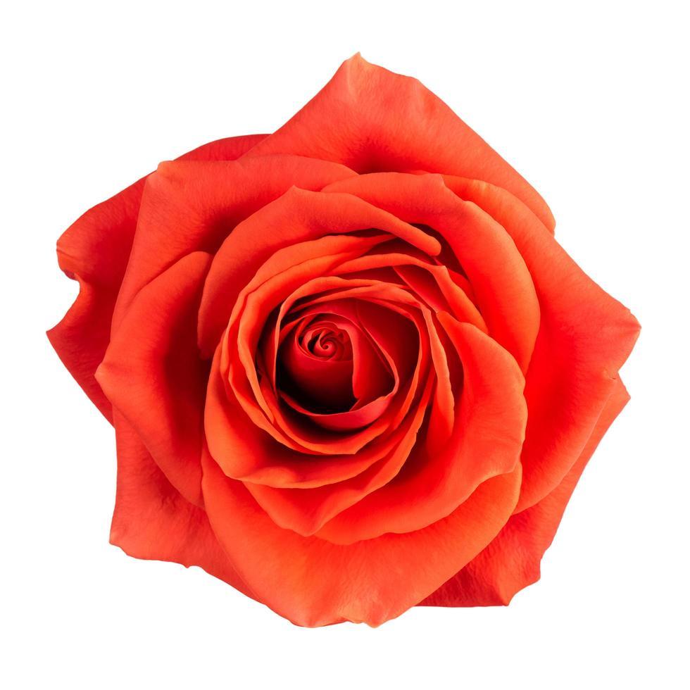 Knospe einer scharlachroten Rose foto