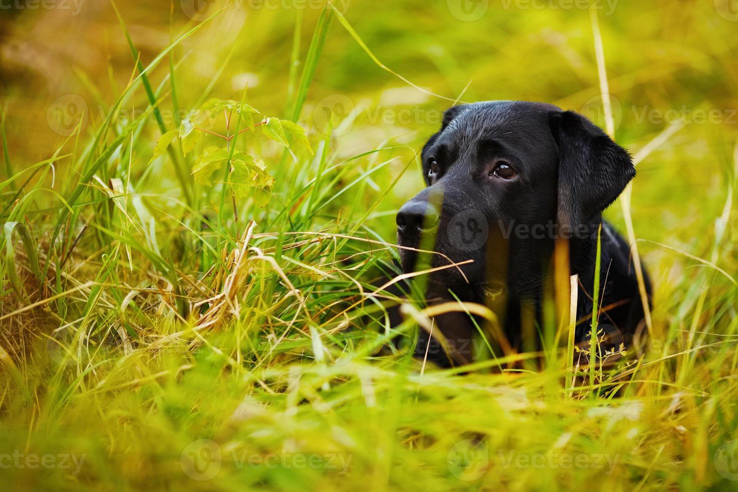 schwarzer Labrador versteckt sich im Gras foto