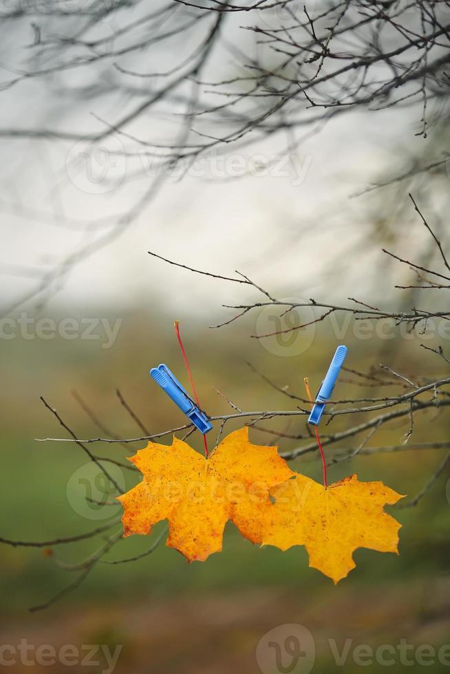 gelbes Herbstahornblatt und blaue Wäscheklammer auf Ast mit Himmel und grünem Feldhintergrund. stimmungsvolles Bild der Herbstsaison. schöner herbsthintergrund. Herbstzeit Konzept. selektiver Fokus. foto
