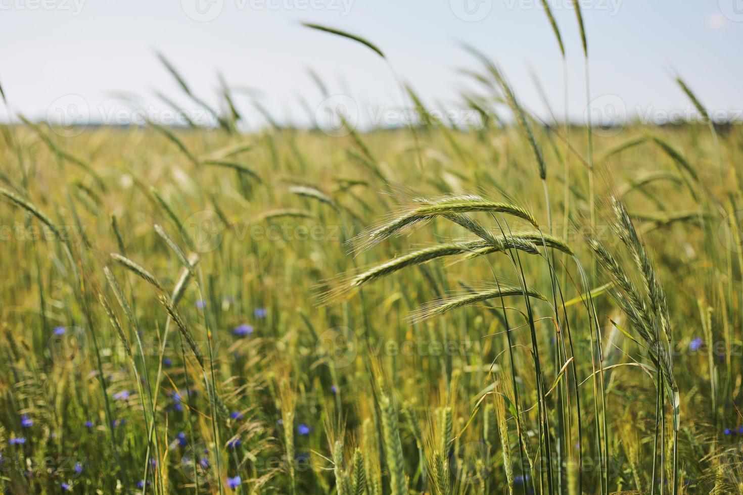 eine Nahaufnahme einiger grüner Ohren in einem Weizenfeld, das vor der Ernte an einem sonnigen Tag reift. reifende Ähren. saftig frische Ähren junger grüner Weizen im Frühjahr. grünes Weizenfeld. selektiver Fokus foto