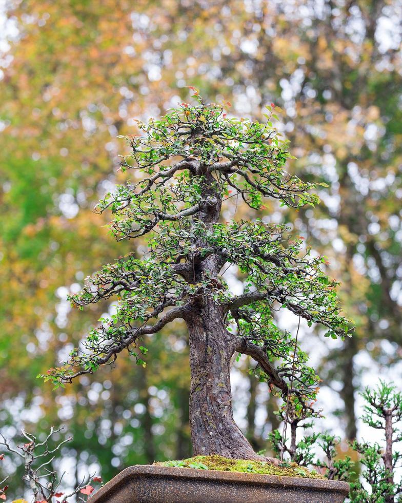Bonsai-Baum auf einem Topf in einem Park. foto