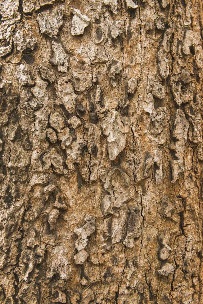 Hintergrund der trockenen Baumrindenhaut die Rinde eines Baumes, die Risse verfolgt foto