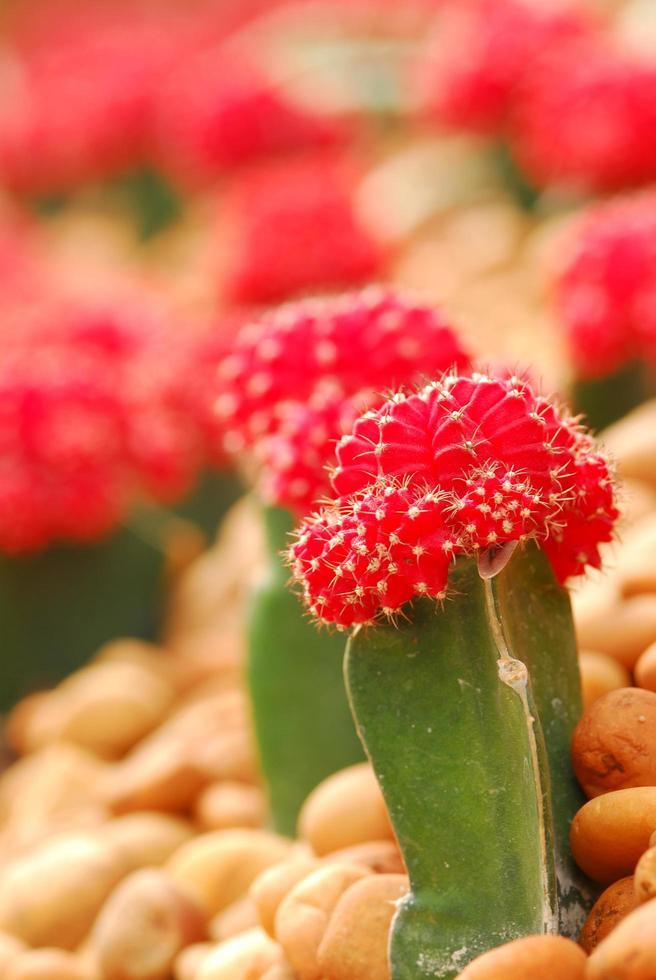 bunter Kaktus, Nahaufnahme von Reihen süßer bunter Miniaturkakteen foto