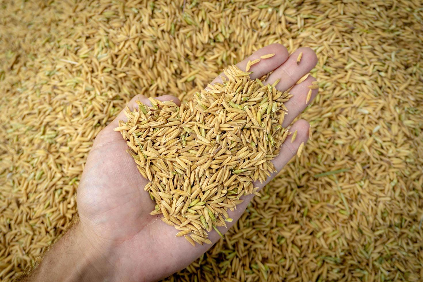 Ansicht von oben Paddy-Reis zur Hand foto