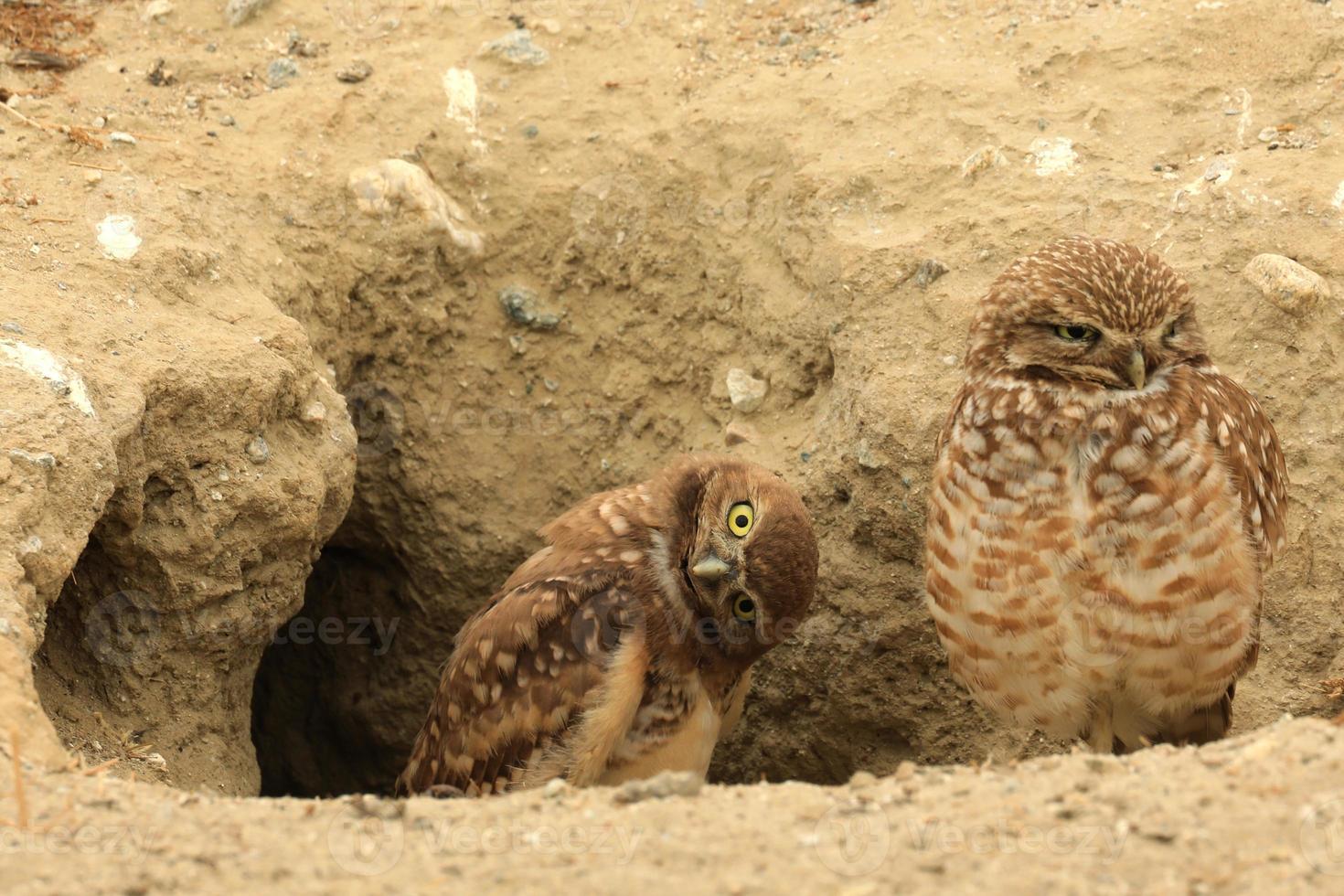Graben von jungen Eulen in Südkalifornien in ihrem wilden Lebensraum foto