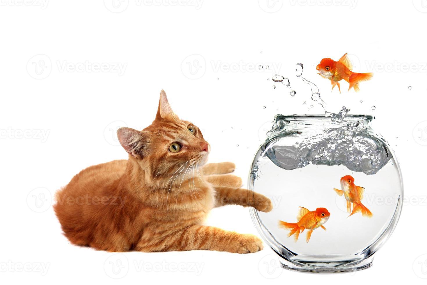 Katze entspannt sich und beobachtet, wie ein Goldfisch aus seiner Schüssel entkommt foto