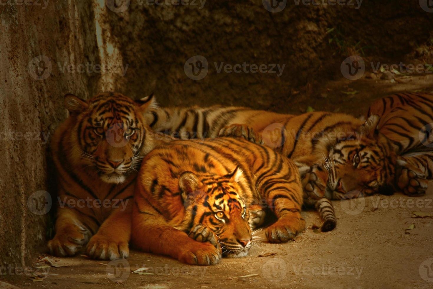 wachsame Augen der Tiger foto