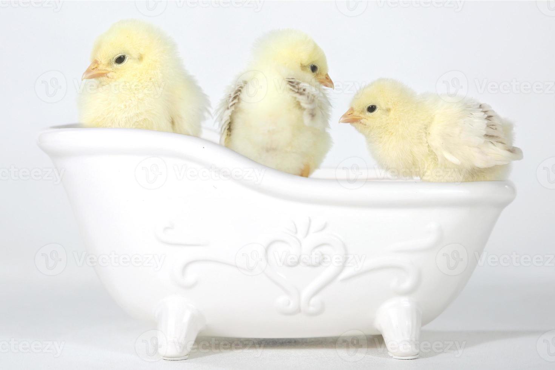 entzückende Babyküken in einer Badewanne foto