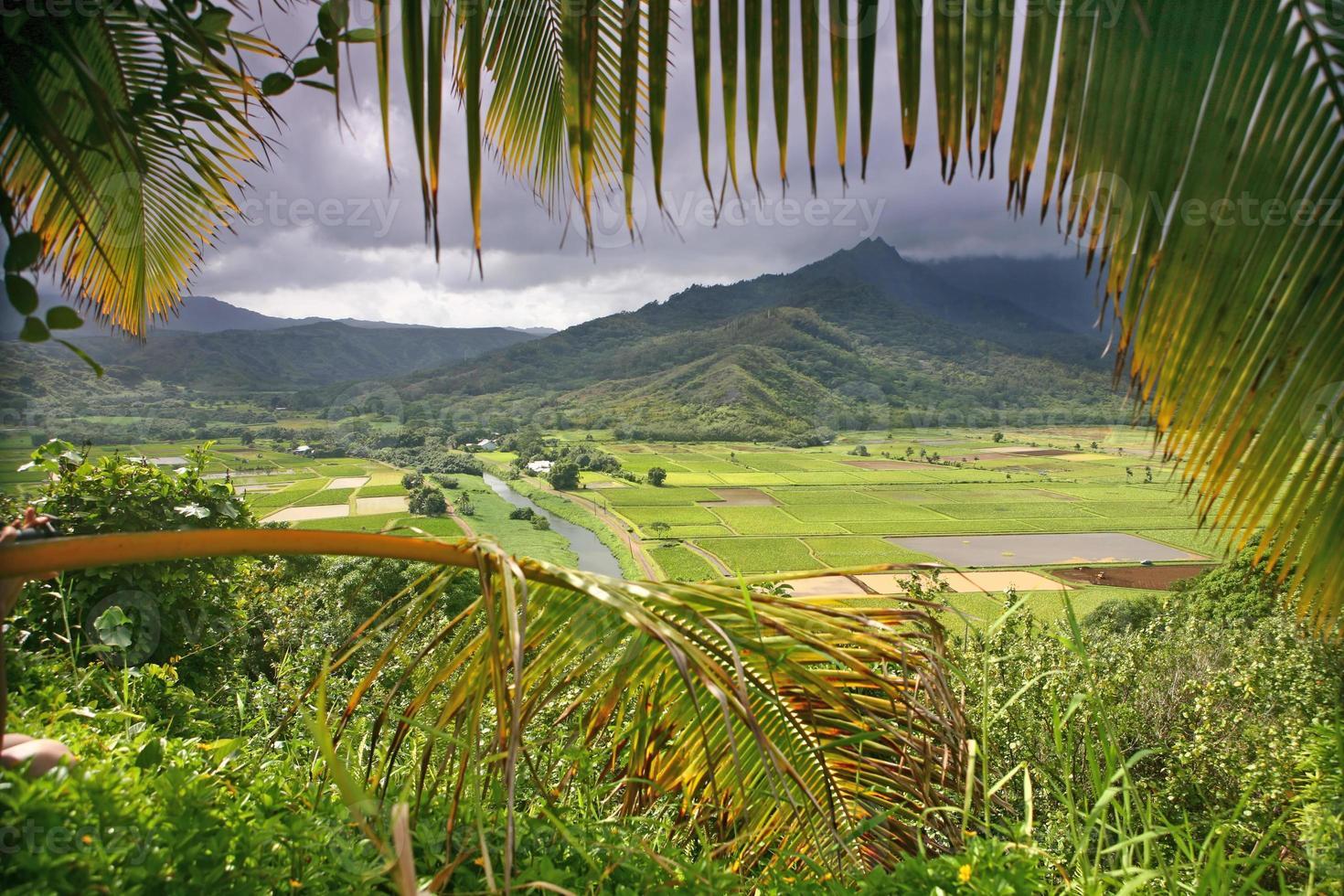 Taro-Felder in Kauai foto