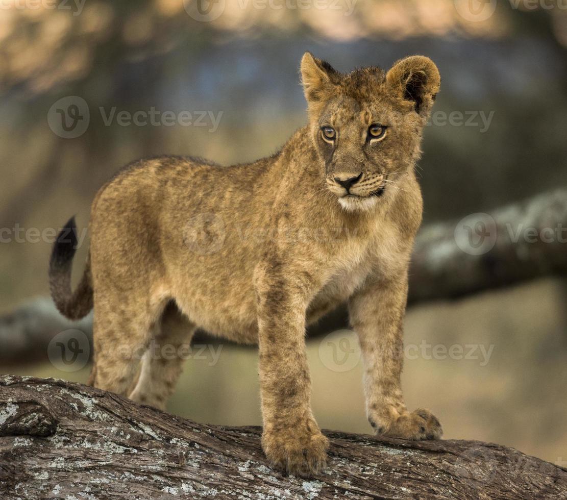 junger Löwe steht ein Ast foto