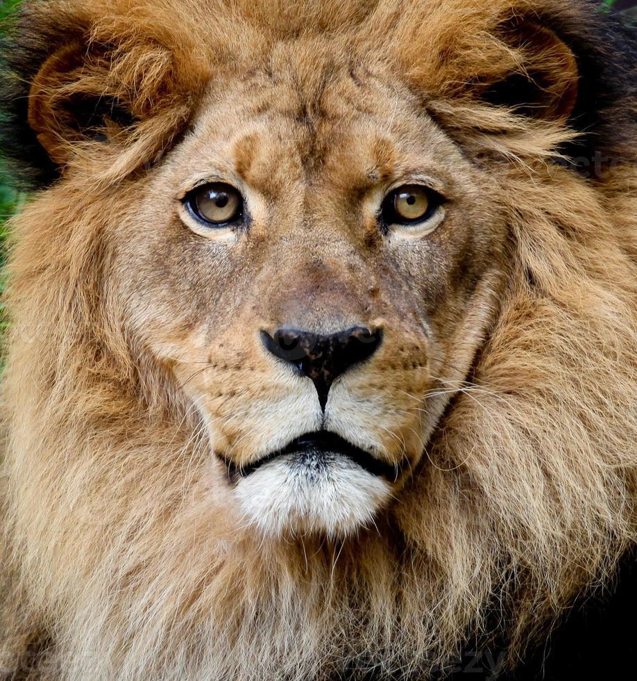 Löwenporträt foto