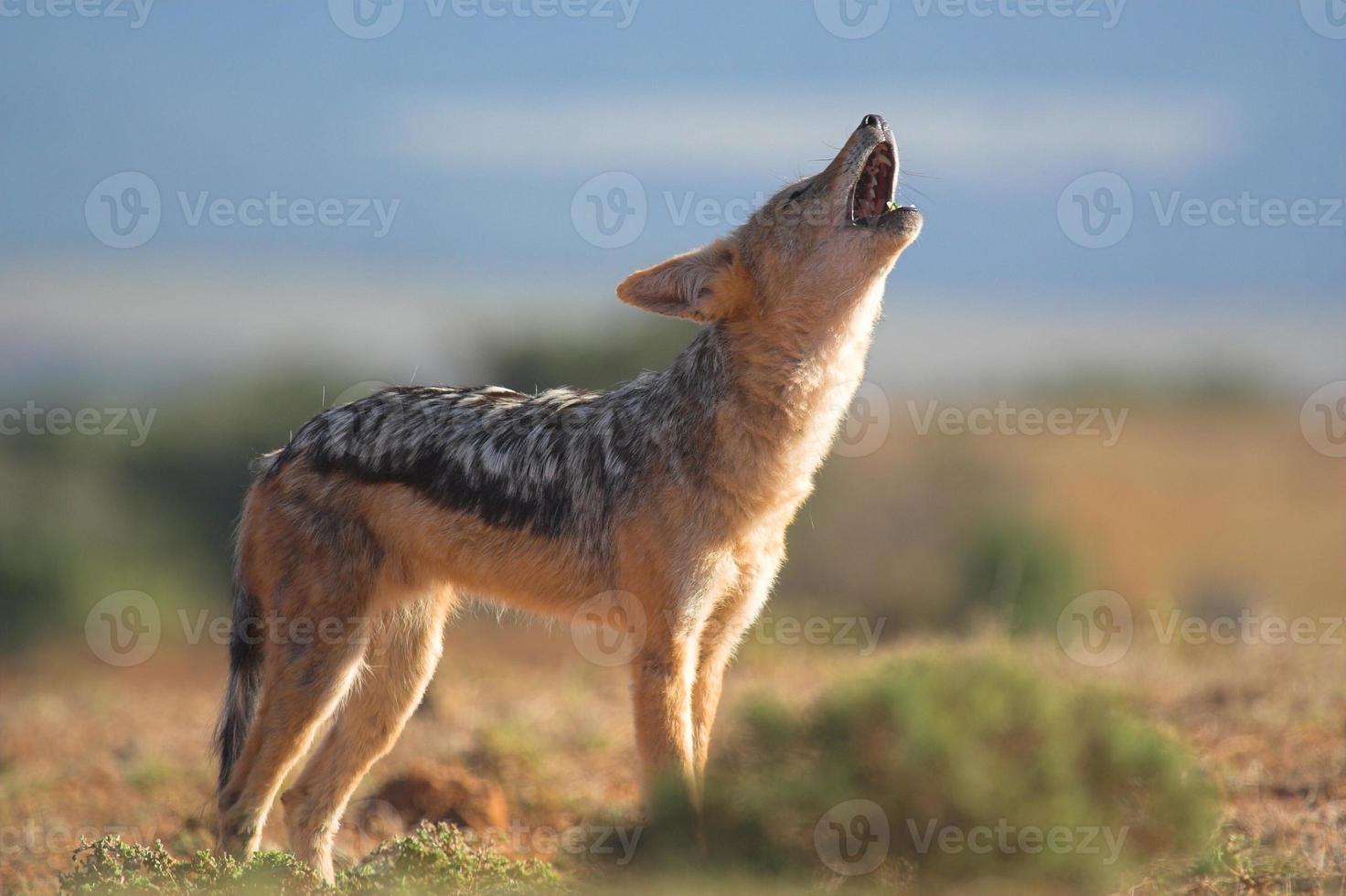 heulender Kojote in der Wüstenlandschaft foto