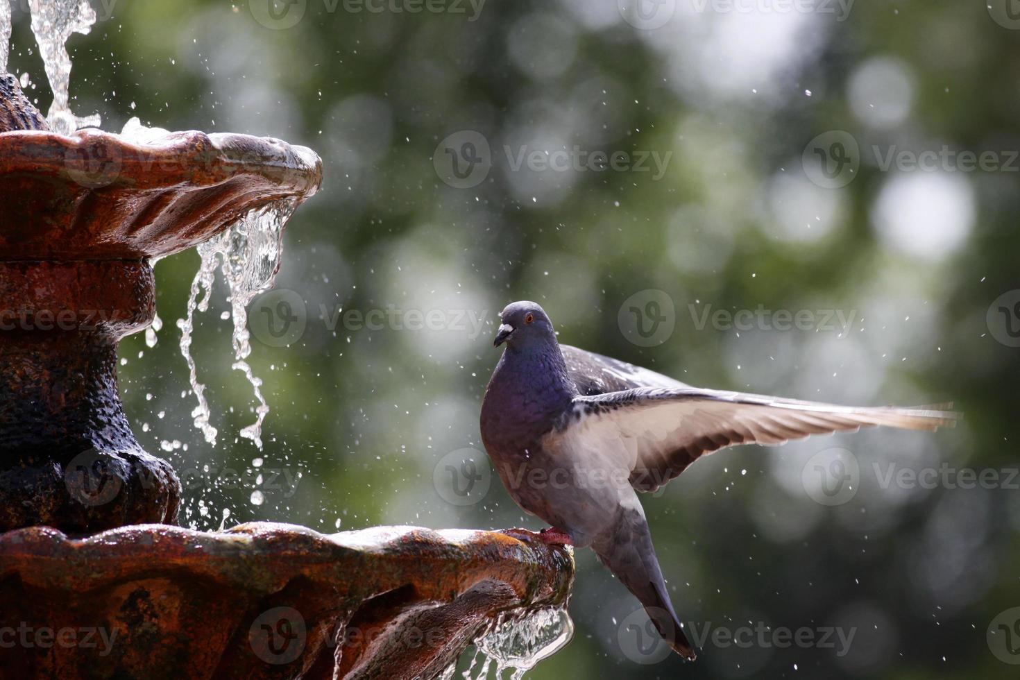 Taube auf Brunnen foto