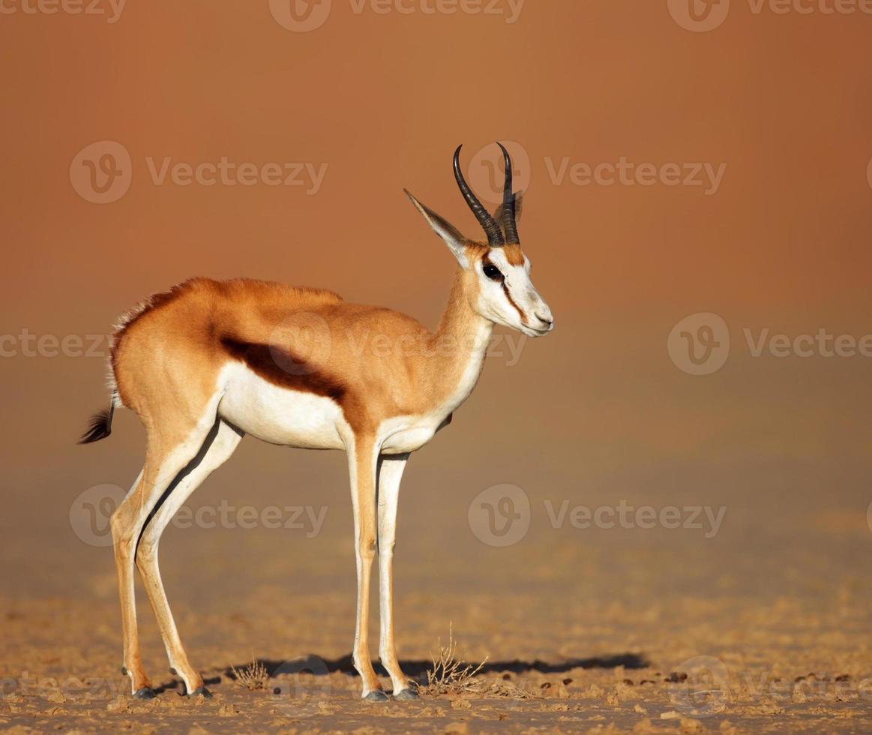 Springbock auf sandigen Wüstenebenen foto