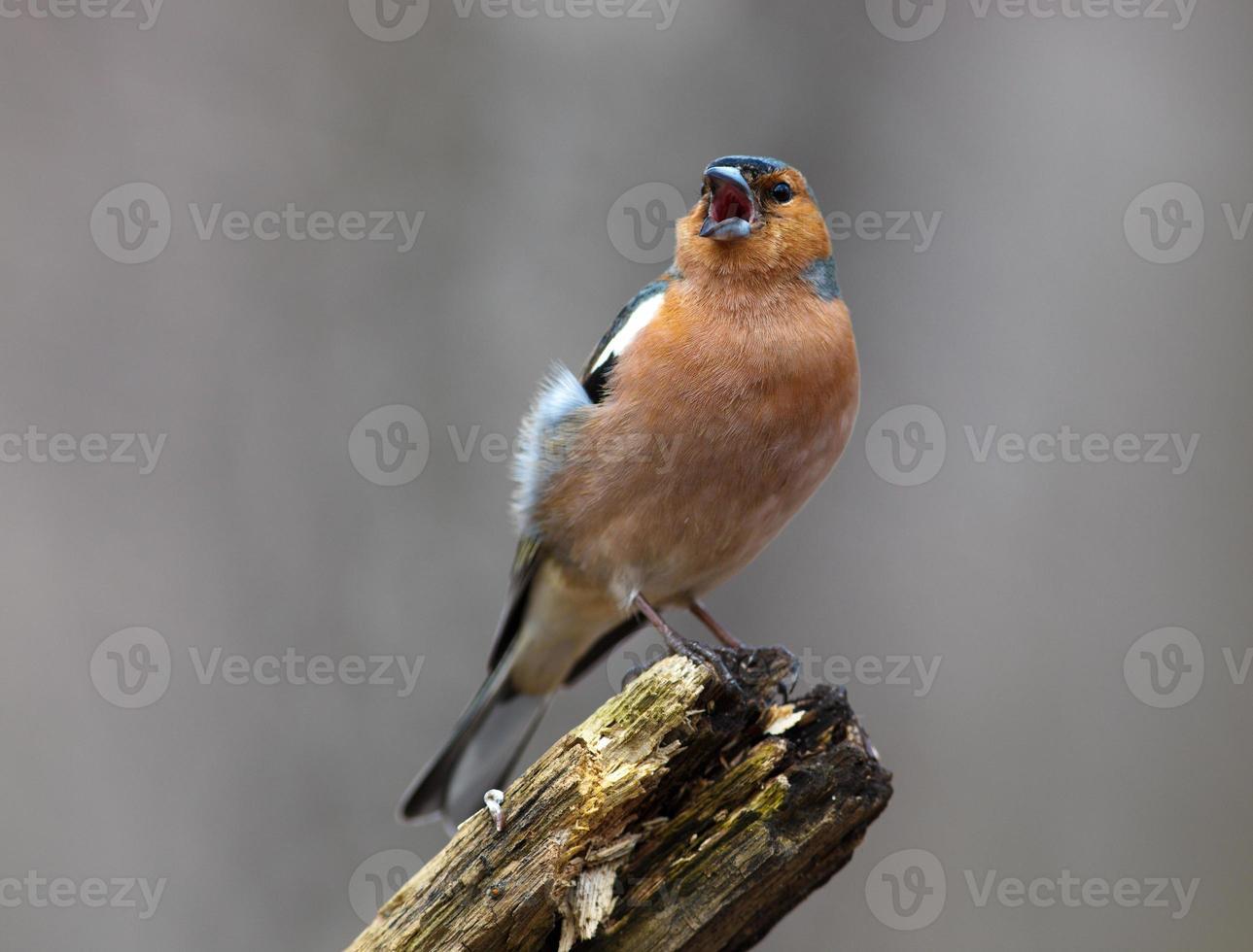 Buchfink (Fringilla Coelebs), männlich foto