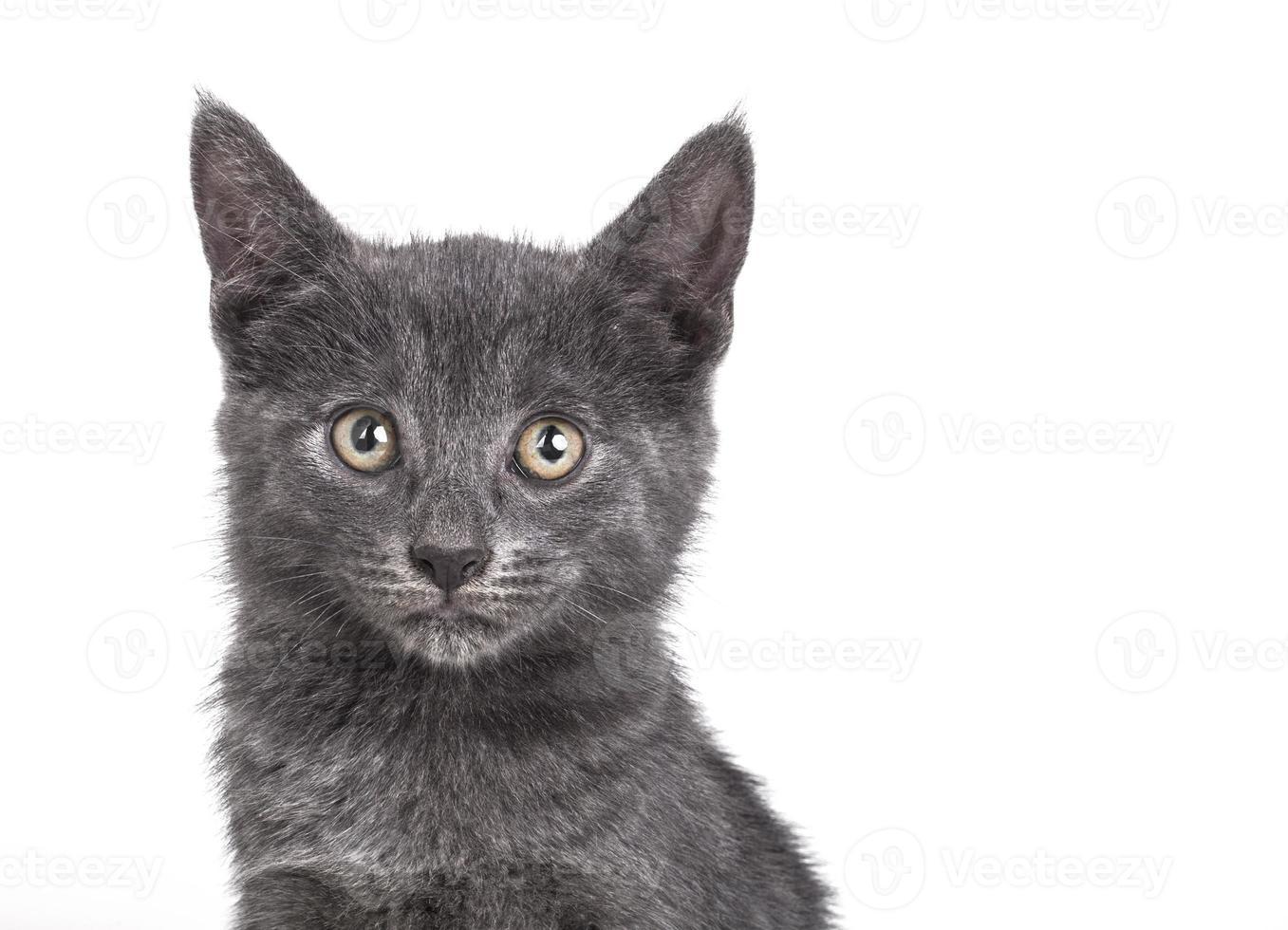 kleine graue britische Katze foto
