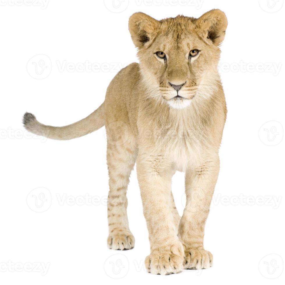 Löwenbaby (8 Monate) foto