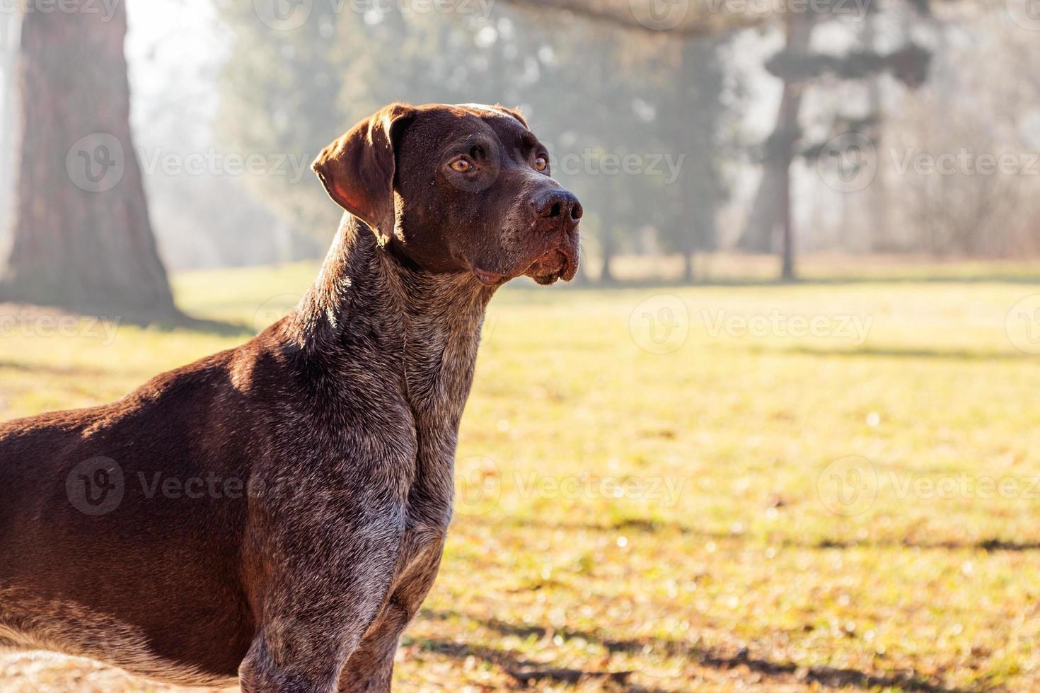 Jägerhund foto