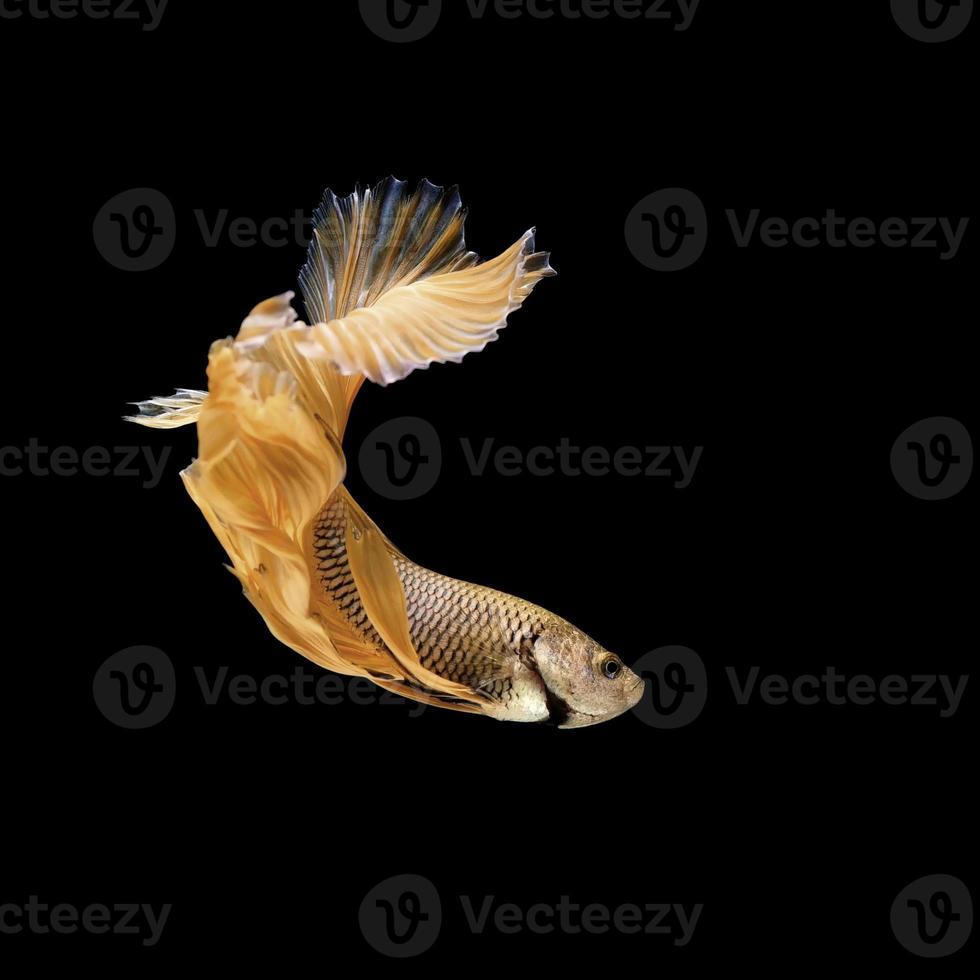 Betta oder siamesischer Kampffisch isoliert auf Schwarz foto