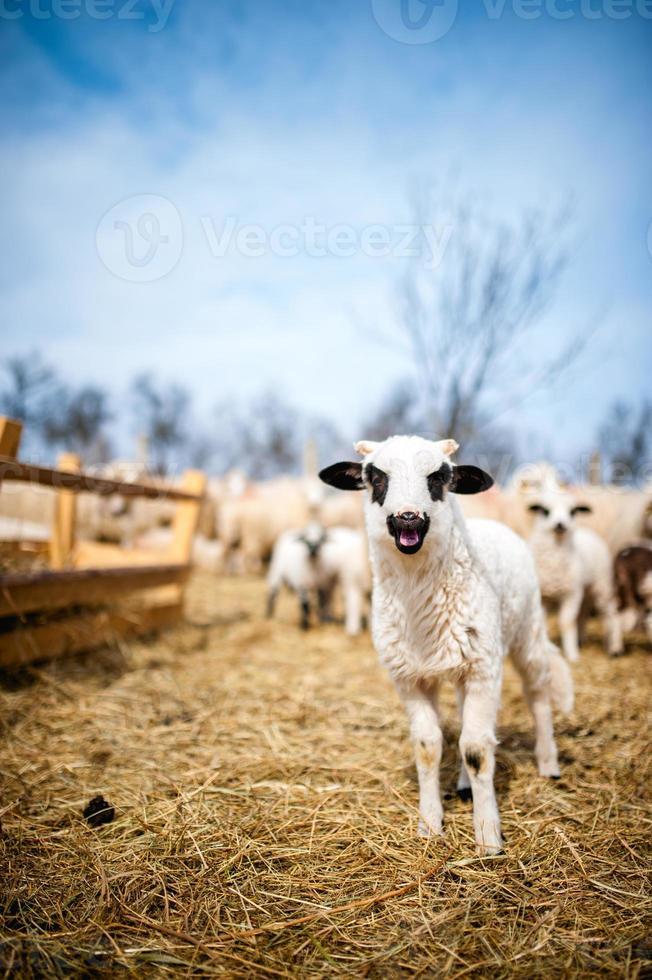 neugieriges kleines Lamm, das in der örtlichen Farm singt foto
