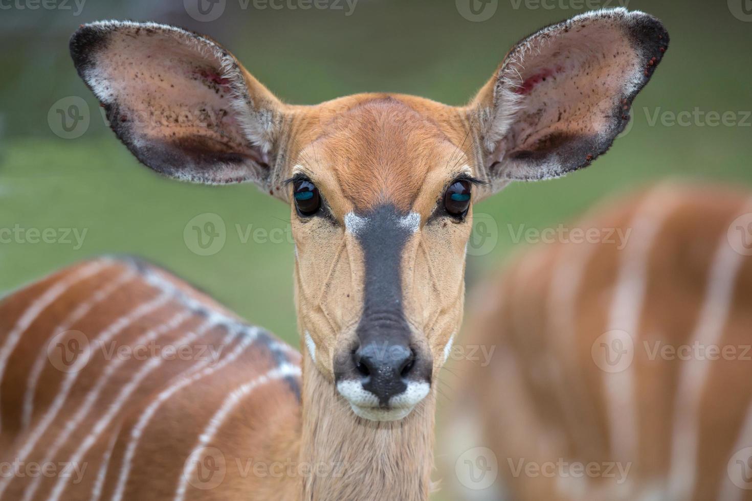 weibliche Nyala Antilope foto