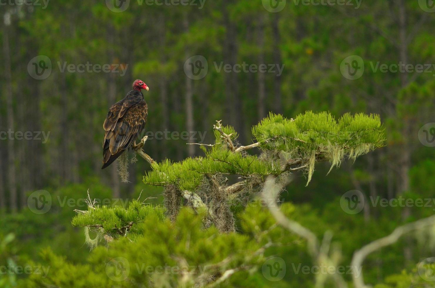 Truthahngeier, der in Zypressenbaumspitze ruht foto