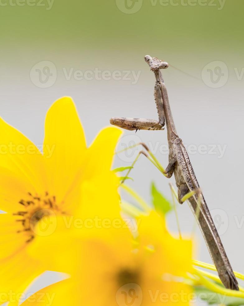 kleine erwachsene Gottesanbeterin auf gelben Blumen foto