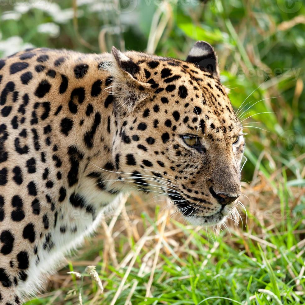 Porträtkopfaufnahme des erwachsenen Amur-Leoparden foto