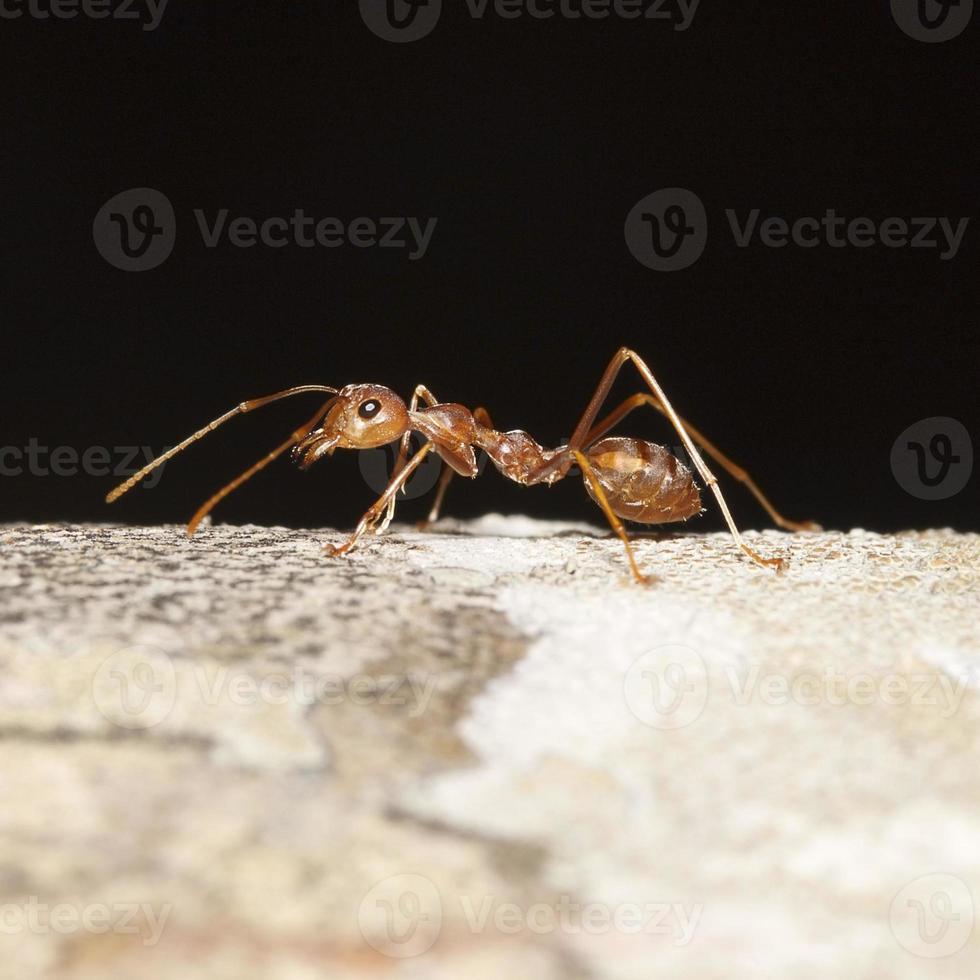 orange Ameise für Muster foto