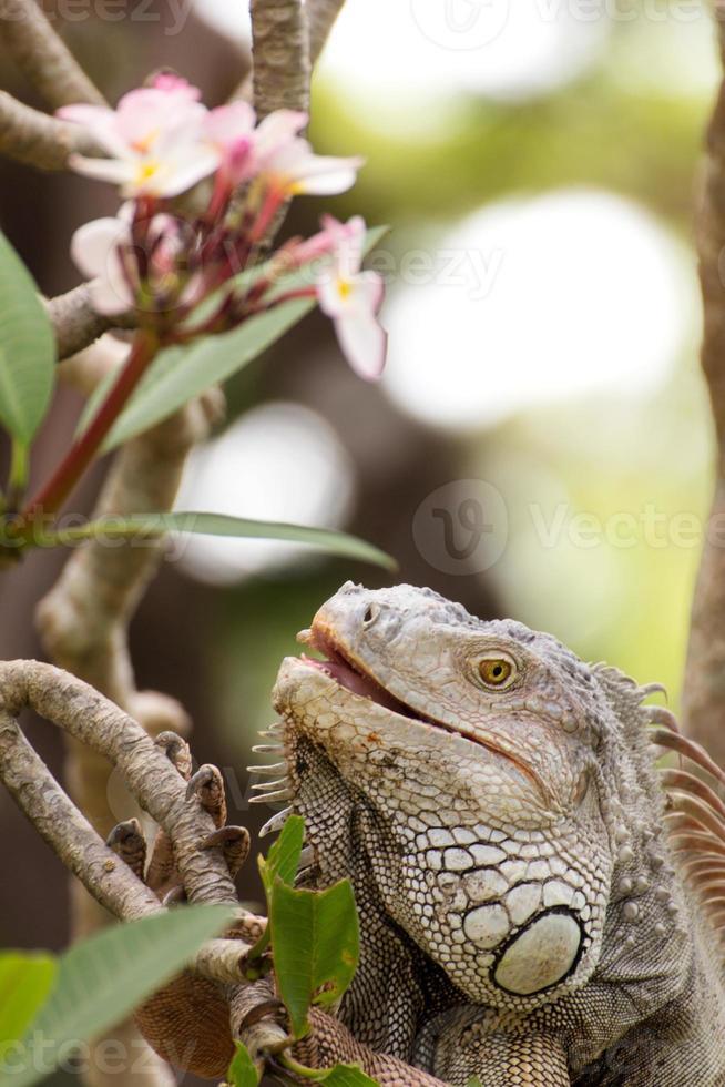 Leguaneidechse, die einen Baum in der Wildnis klettert foto