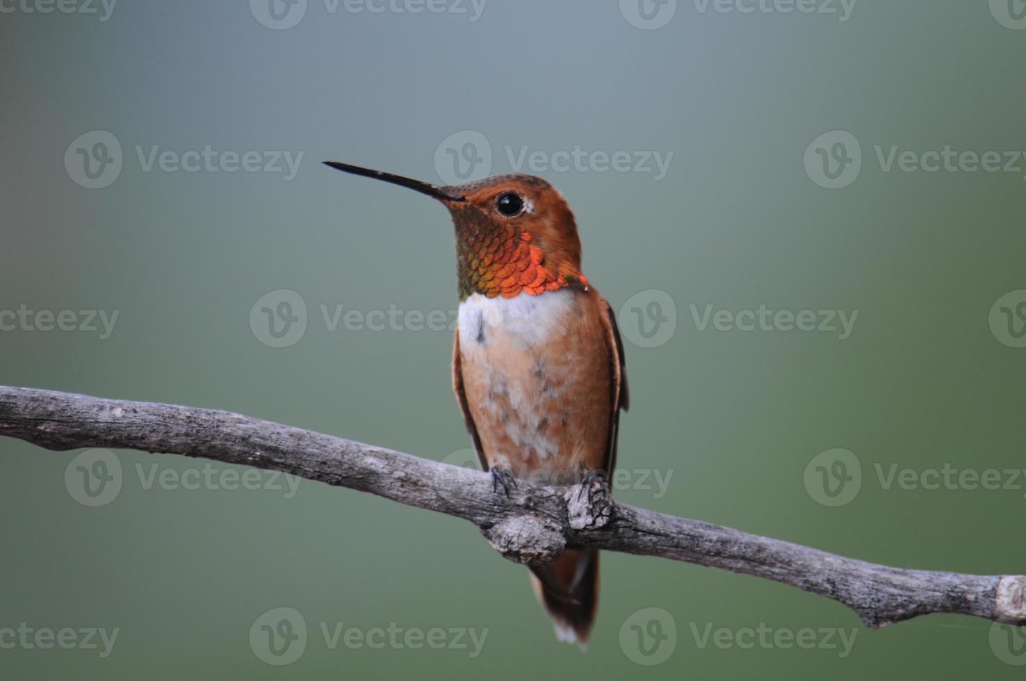 männlicher rufous Kolibri foto