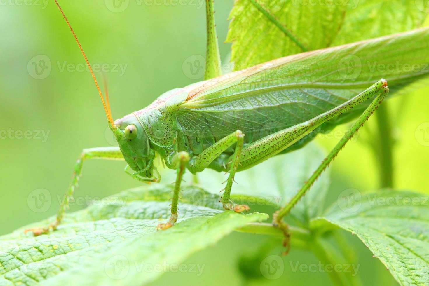 Heuschrecke grün foto